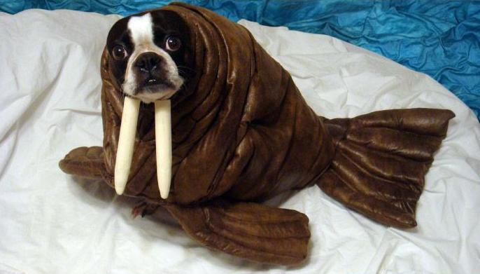 frenchie dog walrus costume